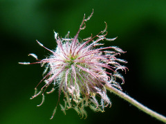 kvet benedikta lekárskeho