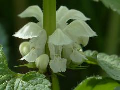 kvet hluchavky bielej