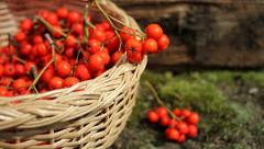 plody jarabiny