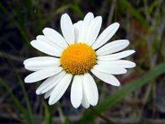 kvet rumančeka